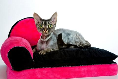 Pampered Devon rex show cat