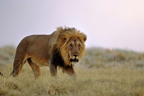 Male Lion standing in grass Africa