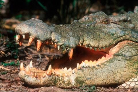 Estuarine Crocodile in Australia with Mouth Open