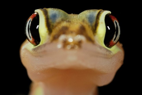 Close up of web-footed gecko