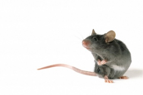 Mouse Standing on Hind Legs, White Background