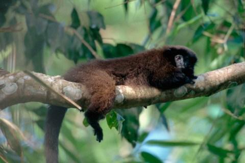 Brown Titi Monkey near Upper Madre de Dios River