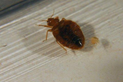 Bedbugs-029