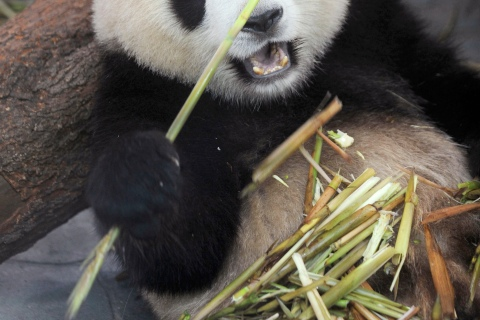 A giant panda eats bamboo at the Chengdu Research Base of Giant Panda Breeding in Chengdu