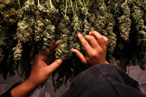Medical marijuana plants are pictured as they dry in the Los Angeles area