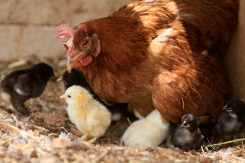 A hen and her chicks are seen at a farm at Kfar-Roumman village in south Lebanon