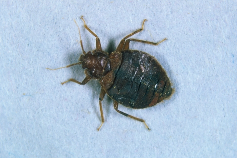 Bed Bug adult (Cimex lectularius).
