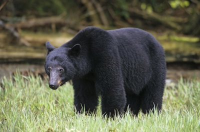 Black Bear in British Columbia, Canada.