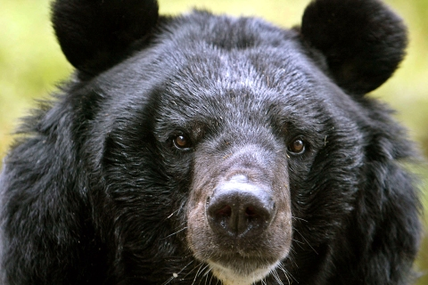 A male Himalayan black bear rests inside its open enclosure at the Padamaja Naidu Himalayan zoological park in Darjeeling