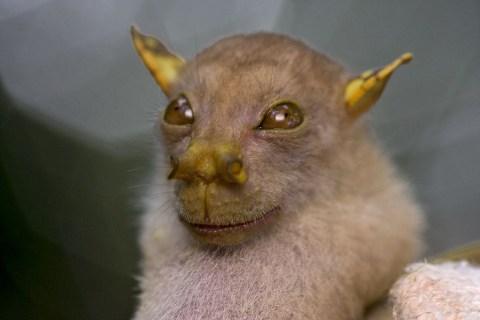 New Guinea's 'Yoda Bat'