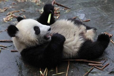 The panda Bo Si