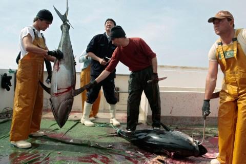 Workers weigh Atlantic bluefin tuna