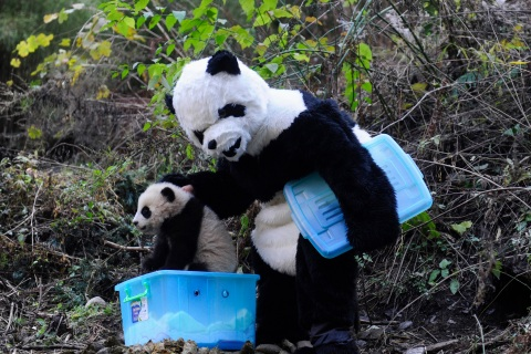 A researcher dressed in a panda costume puts a panda cub into a box before its physical examination at the Hetaoping Research and Conservation Center for the Giant Panda in Sichuan province