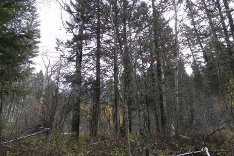 Unabomber Trees