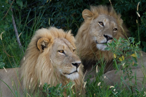 A pair of African lions sitting in tall grass.