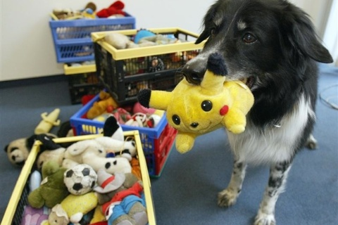 CLEVER BORDER COLLIE RICO FETCHES A POKEMON TOY IN BERLIN.