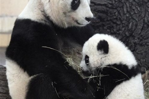 Giant panda Yang Yang watches her five-month-old cub Fu Hu in their enclosure at the zoo in Vienna
