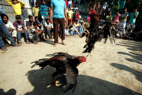 Roosters fight in a traditional cockfighting competition in New Delhi