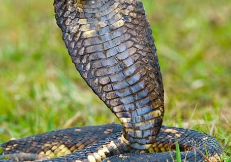 109433674Close-up of an Egyptian cobra (Heloderma horridum) rearing up, Lake Victoria, Uganda