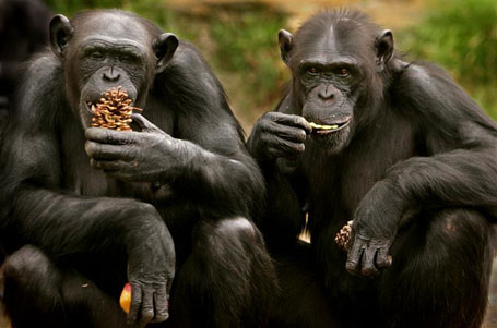Chimpanzees eat Christmas treats at Sydney's Taronga Zoo December 23, 2004. Zookeepers fed the chimp..