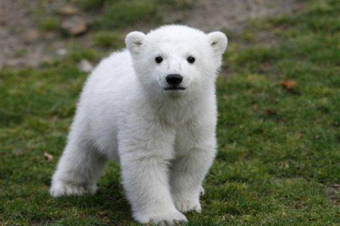 Germany Polar Bear Knut Death