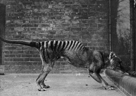 Thylacine/Tasmanian Tiger/Marsupial Wolf