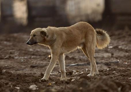 A dog walks near tanks in a deployment a