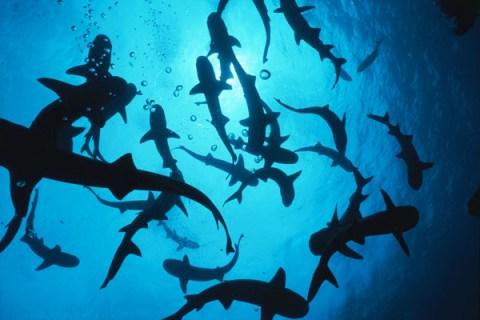 Sharks Show a Softer Side