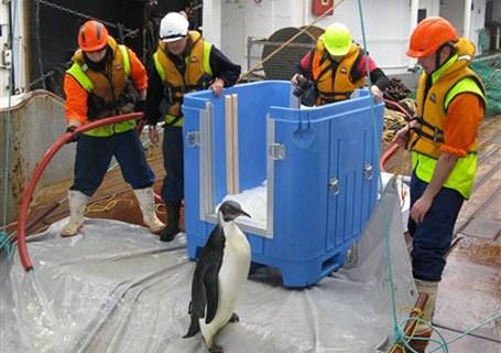 New Zealand Emperor Penguin