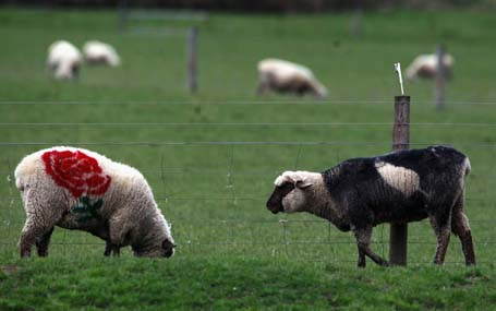 Sheep painted with colours of New Zealand All Blacks team and England's team graze in a farm on the outskirts of Dunedin