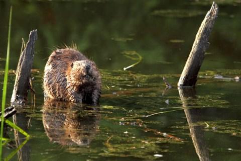 nwsfd_beaver