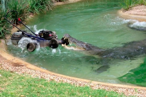 Elvis the crocodile attacks a lawnmower at the Australian Reptile Park in Gosford, north of Sydney