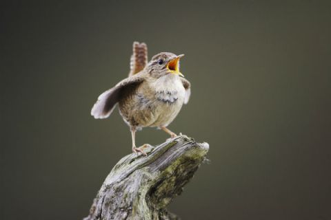 Wren, Troglodytes troglodytes, adult male singing and displaying from perch, Scotland