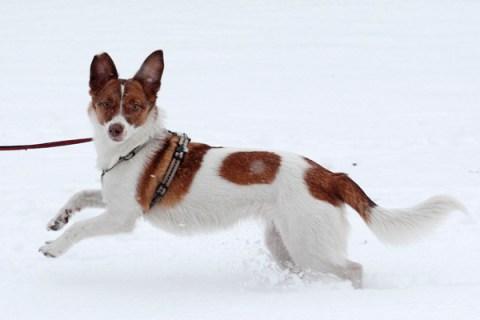 A dog runs through the snow during snowfall.