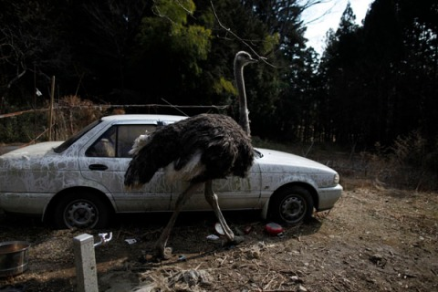 An ostrich which had escaped from a farm is seen in Tomioka town inside the Fukushima exclusion zone