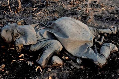 Elephant Poaching Cameroon