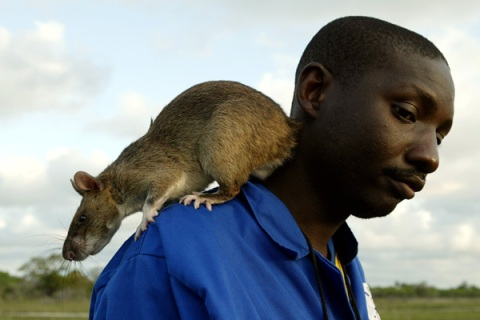 Gambian giant pouch rat