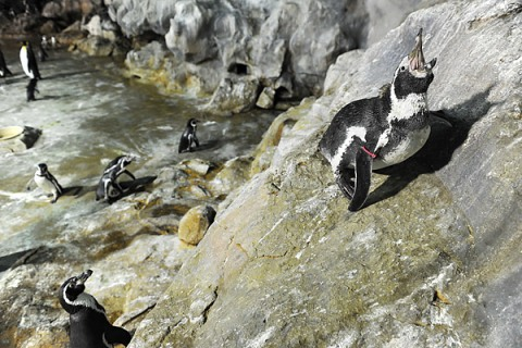 Tokyo Zoo Escaped Penguin