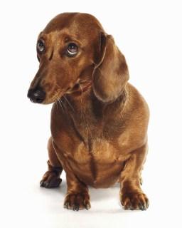 Sad Dog: Dachshund looking up