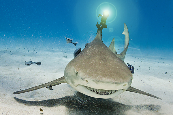A shark with a non-invasive laser beam attached to its dorsal fin.
