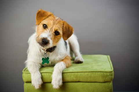 russell_terrier