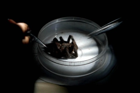 A Tarantula spider being examined