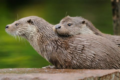 otter_cropped