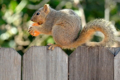 A squirrel munches on a tangerine  at a
