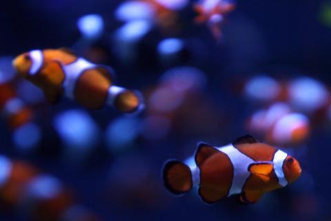 Anemonefish (Amphiprion ocellaris) swim