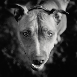 image: american pit bull terrier