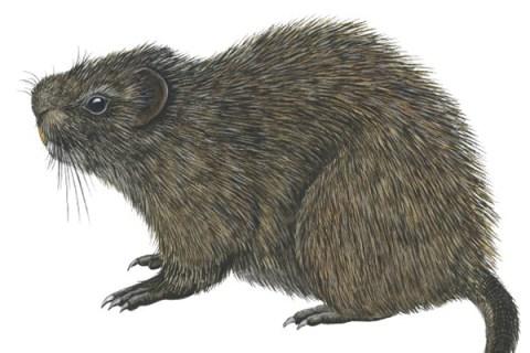 Great Cane Rat