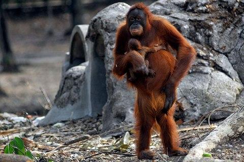 Indonesia Smoking Orangutan
