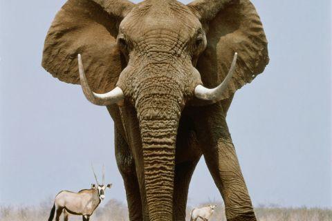 elephant_cropped