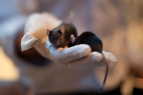 Explosive Detecting Mice Showcased By Israeli Company